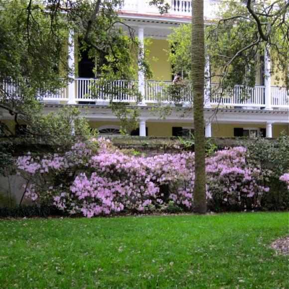 Charleston azaleas