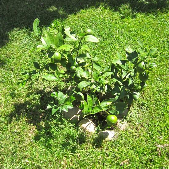New Meyer Lemon tree